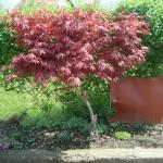 acer palmatum - Javor