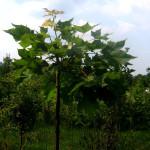 acer platanoides globosum - mlečni javor