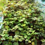 acer pseudoplatanus - Gorski javor