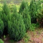 juniperus chinesis stricta - kleka