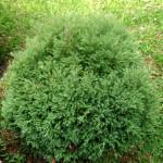 juniperus pisifera