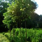 tilia parvifolia - lipa